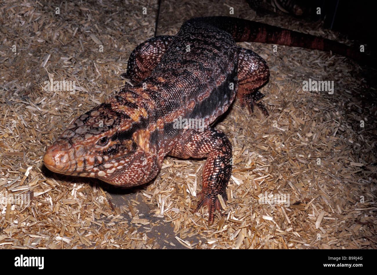 Tupinambis Rufescens Stock Photos & Tupinambis Rufescens