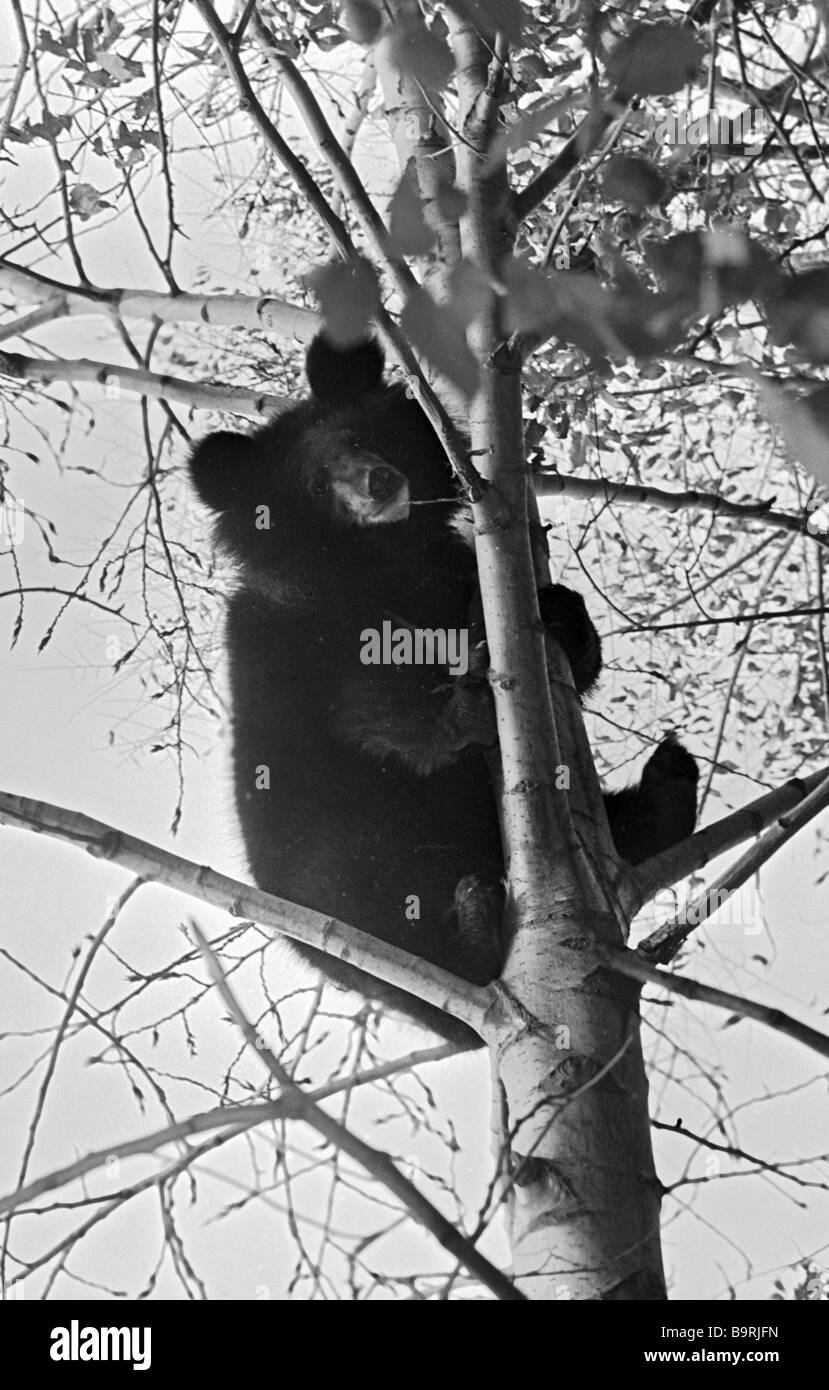 Asiatic black bear cub sits on a tree in the Far Eastern taiga - Stock Image