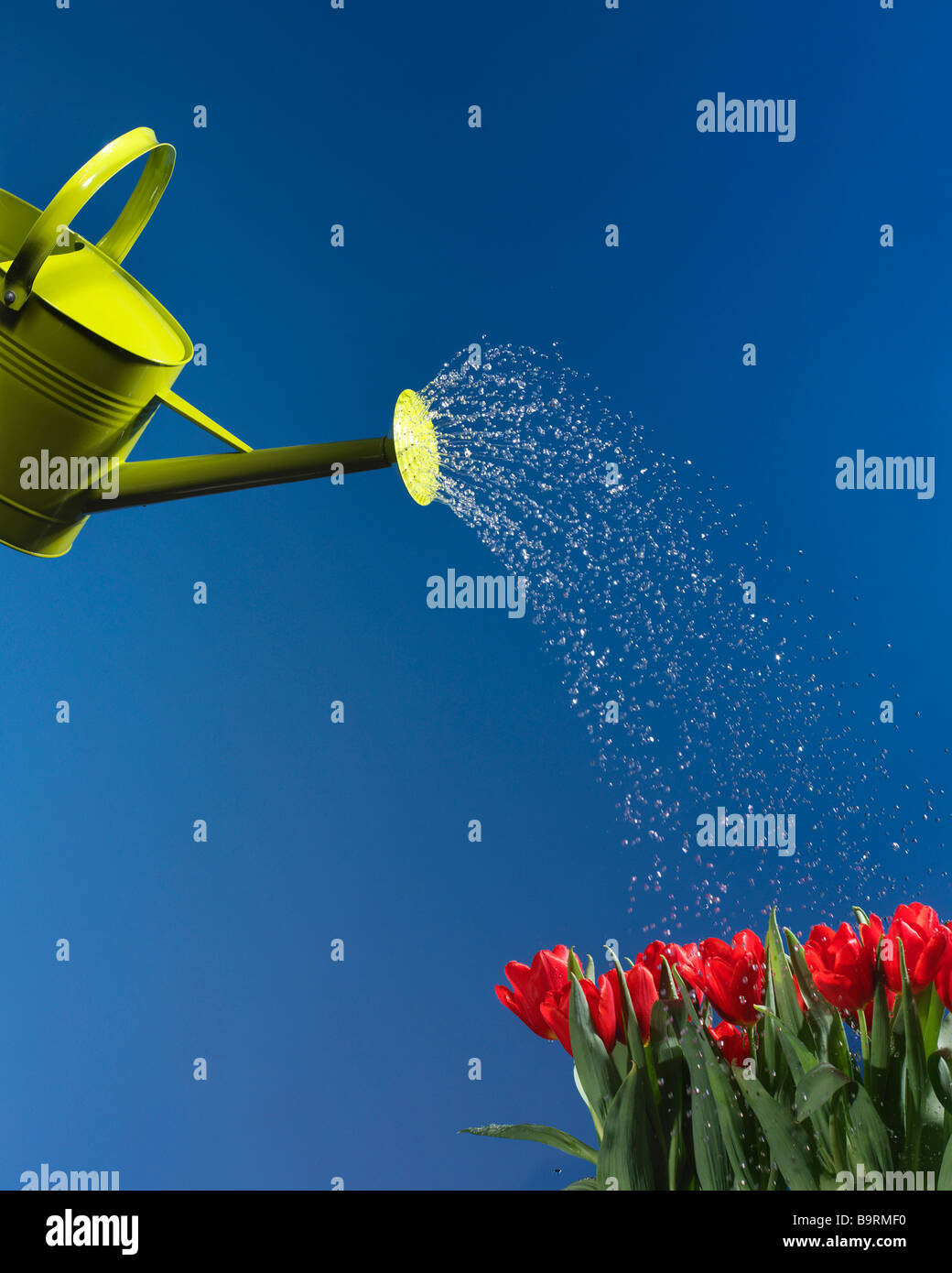 green watering can sprinkling water onto red tulips with blue sky - Stock Image