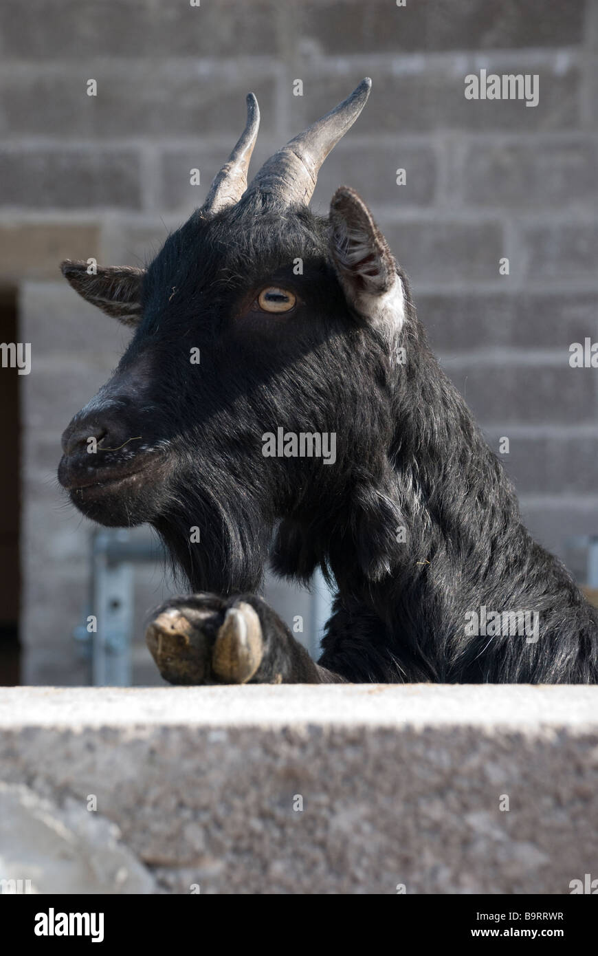 black goat look horns fur hair hoof hooves billy gruff - Stock Image