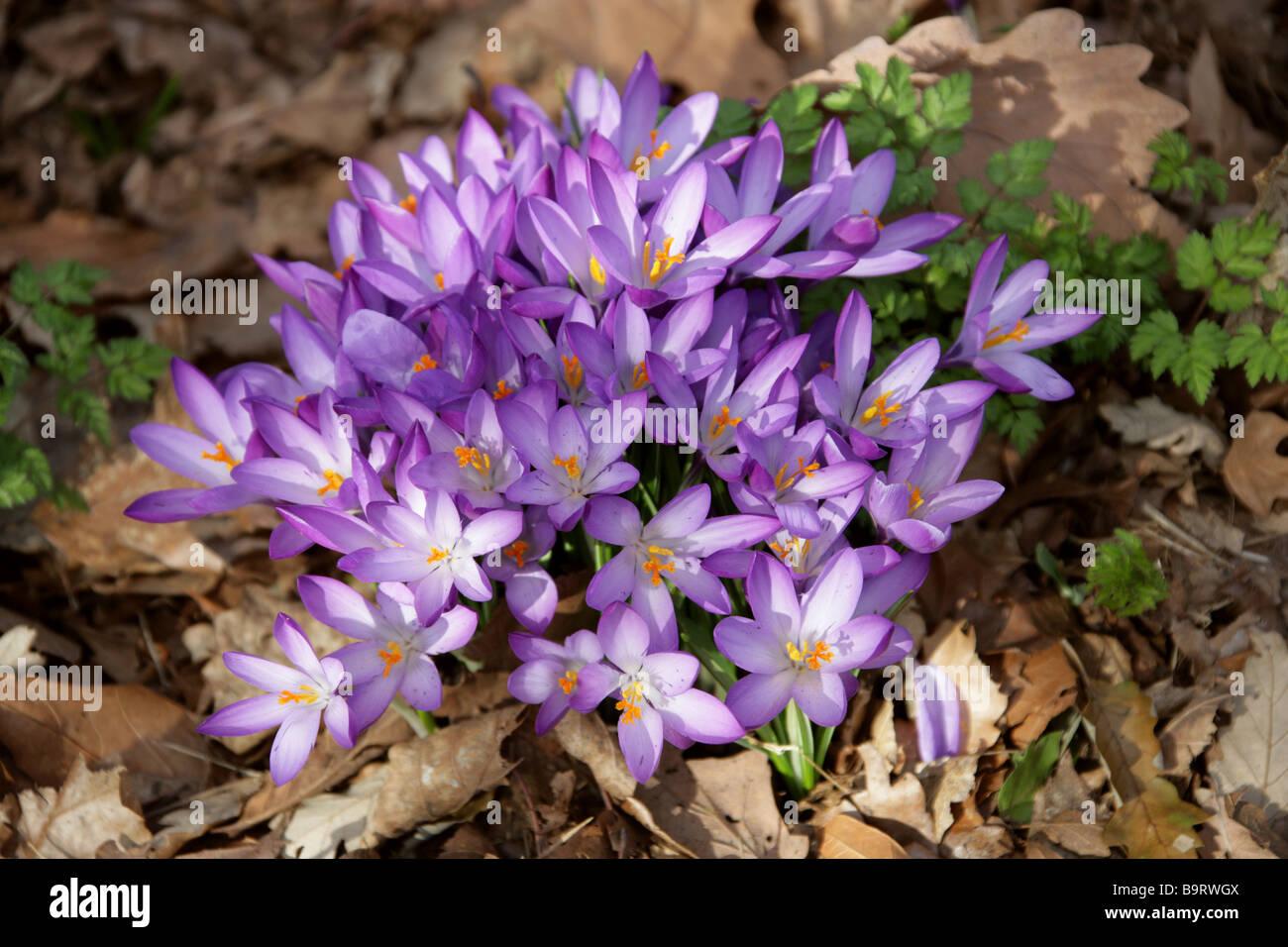 Purple Crocuses, Crocoideae, Iridaceae - Stock Image
