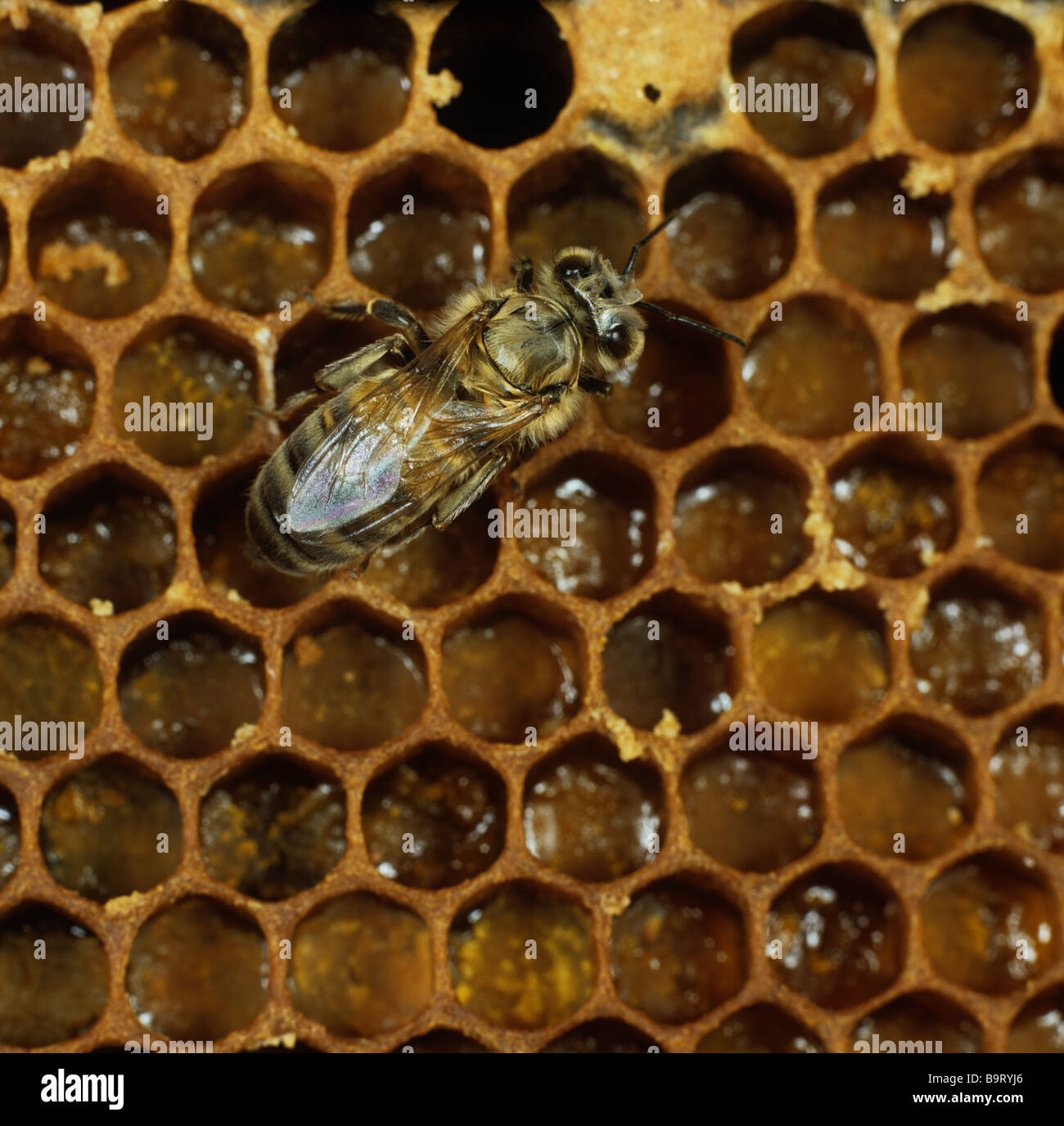 Worker honey bee Apis mellifera newly emerged from brood cells in the hive - Stock Image