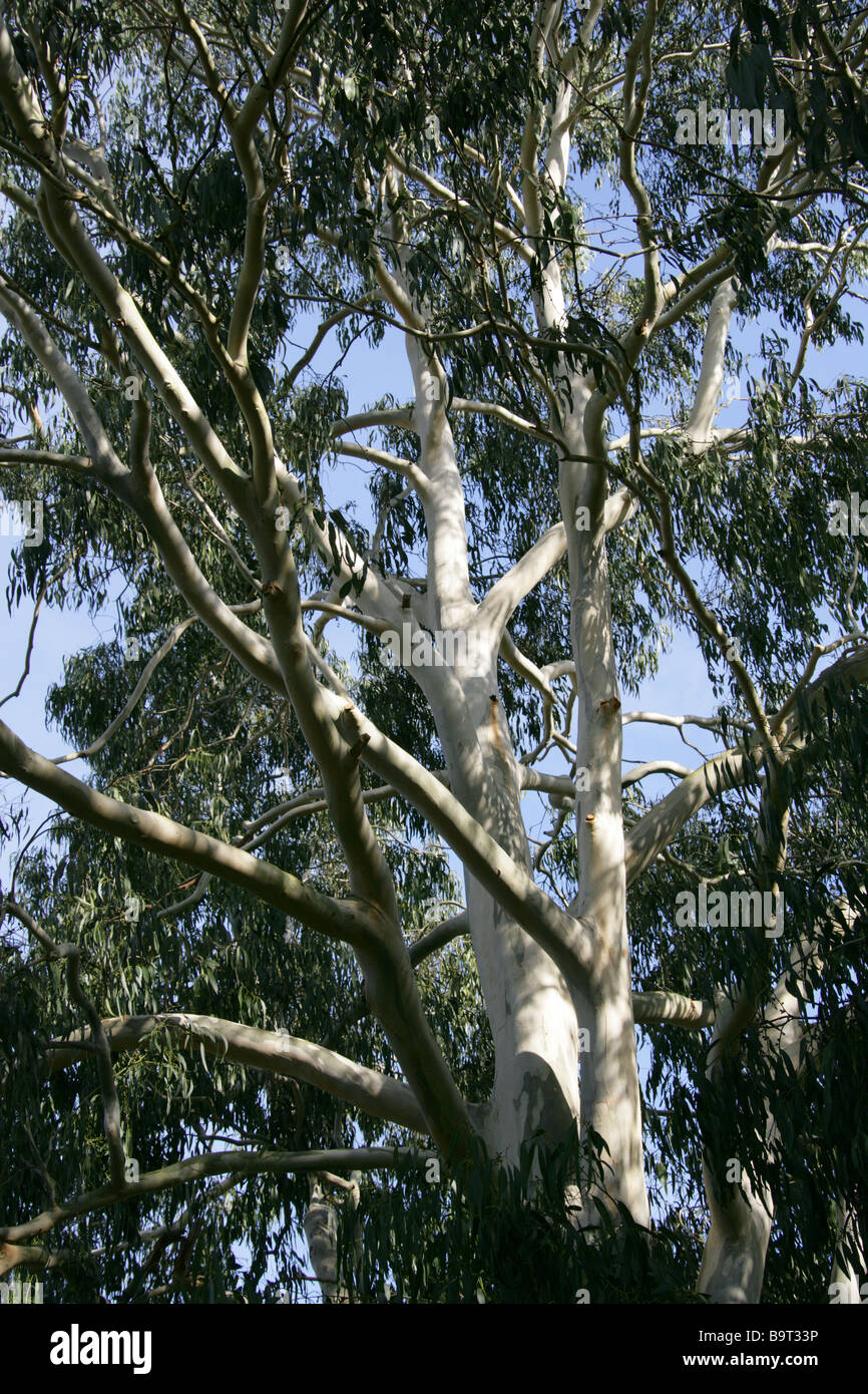 Manna Gum aka White Gum, Ribbon Gum or Viminalis Tree, Eucalyptus viminalis, Myrtaceae, New South Wales Australia - Stock Image