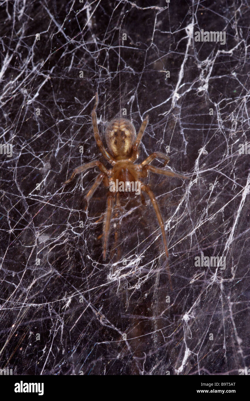 Window lace weaver spider Amaurobius fenestralis Amaurobiidae in her web on a window at night UK Stock Photo