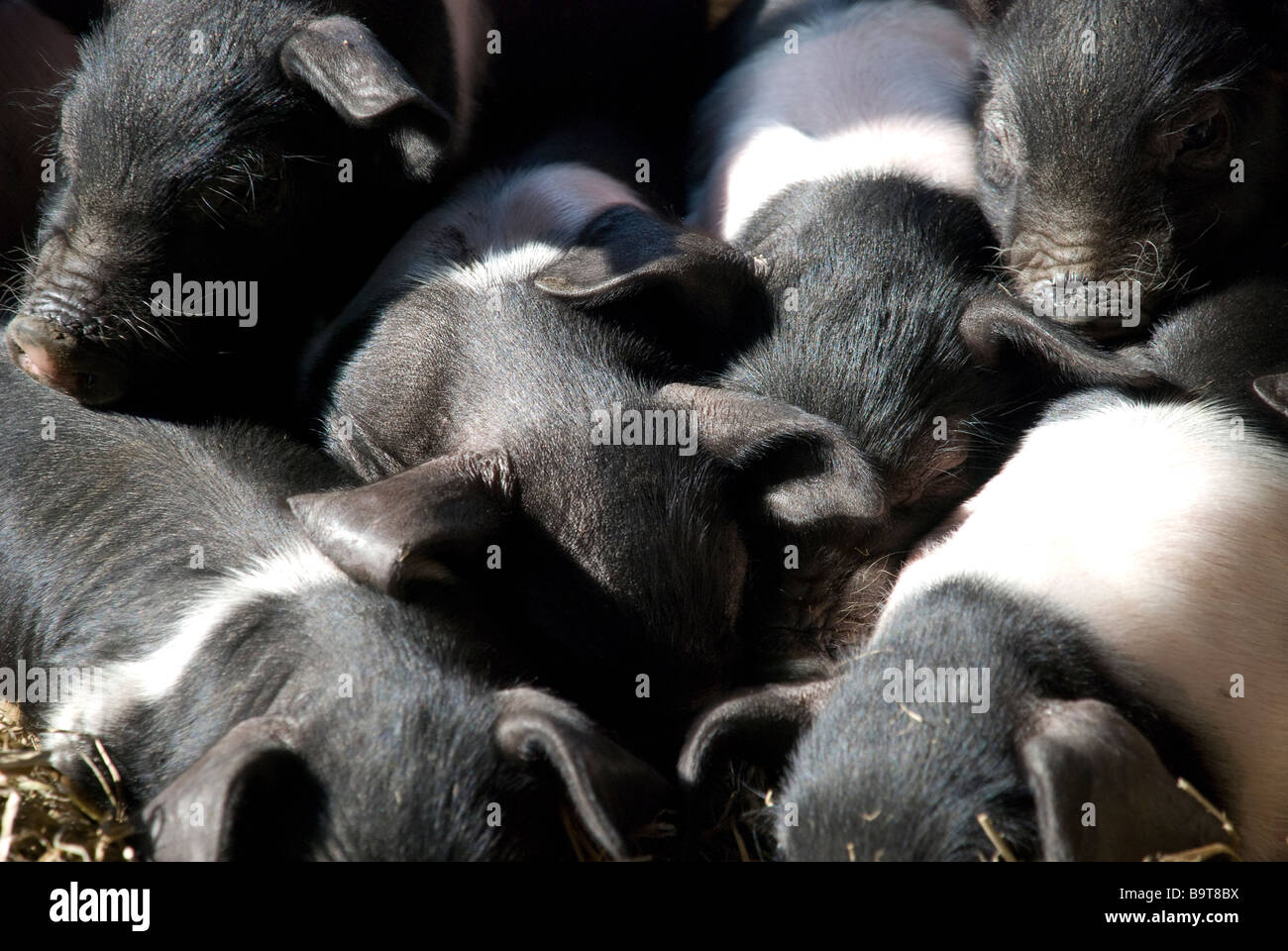 Piglet Piglets Pig Pork Bacon Baby Little Cute Fur Pink Black Sun Sleep Family Brother Sister Play Eat Farm Snuggle Oink Swine