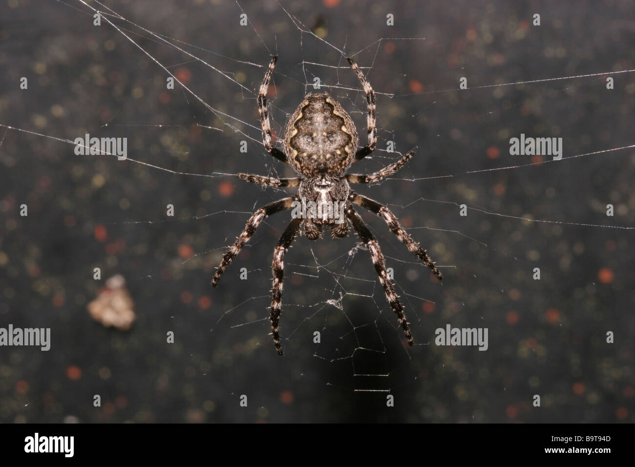 Walnut orb weaver Nuctenea umbratica Araneidae in her web at night in a greenhouse UK - Stock Image