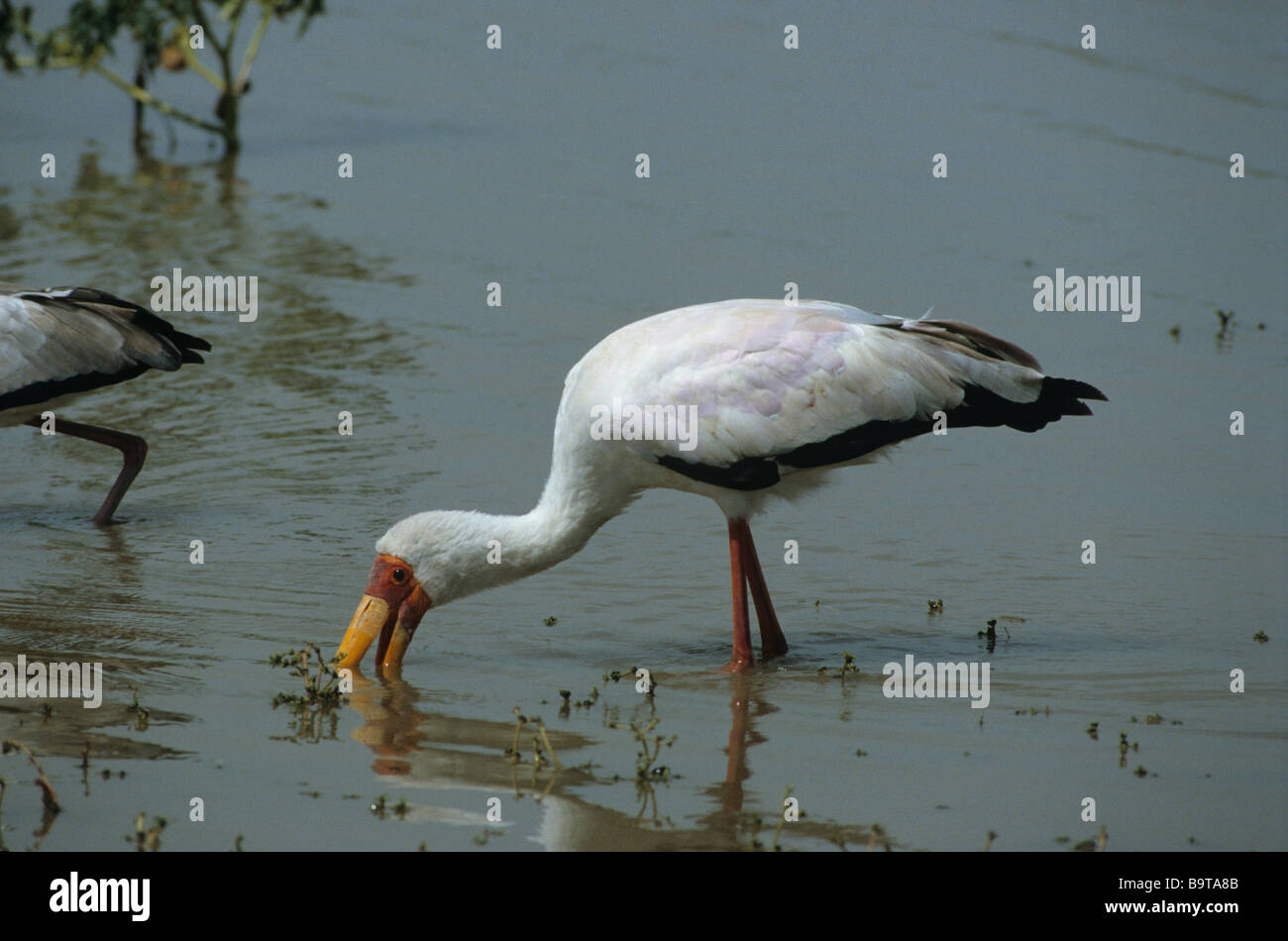 Yellow-billed Stork (Mycteria ibis) adult feeding in shallow water Stock Photo