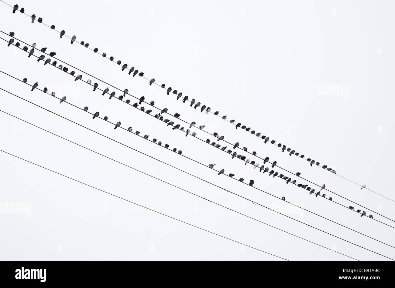 Birds on Wires. A large flock of dark birds arranged into four rows leaving three wires bird free. Ottawa, Ontario, - Stock Image
