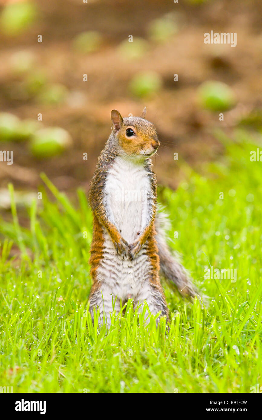 Grey Squirrel standing in cider orchard - Stock Image