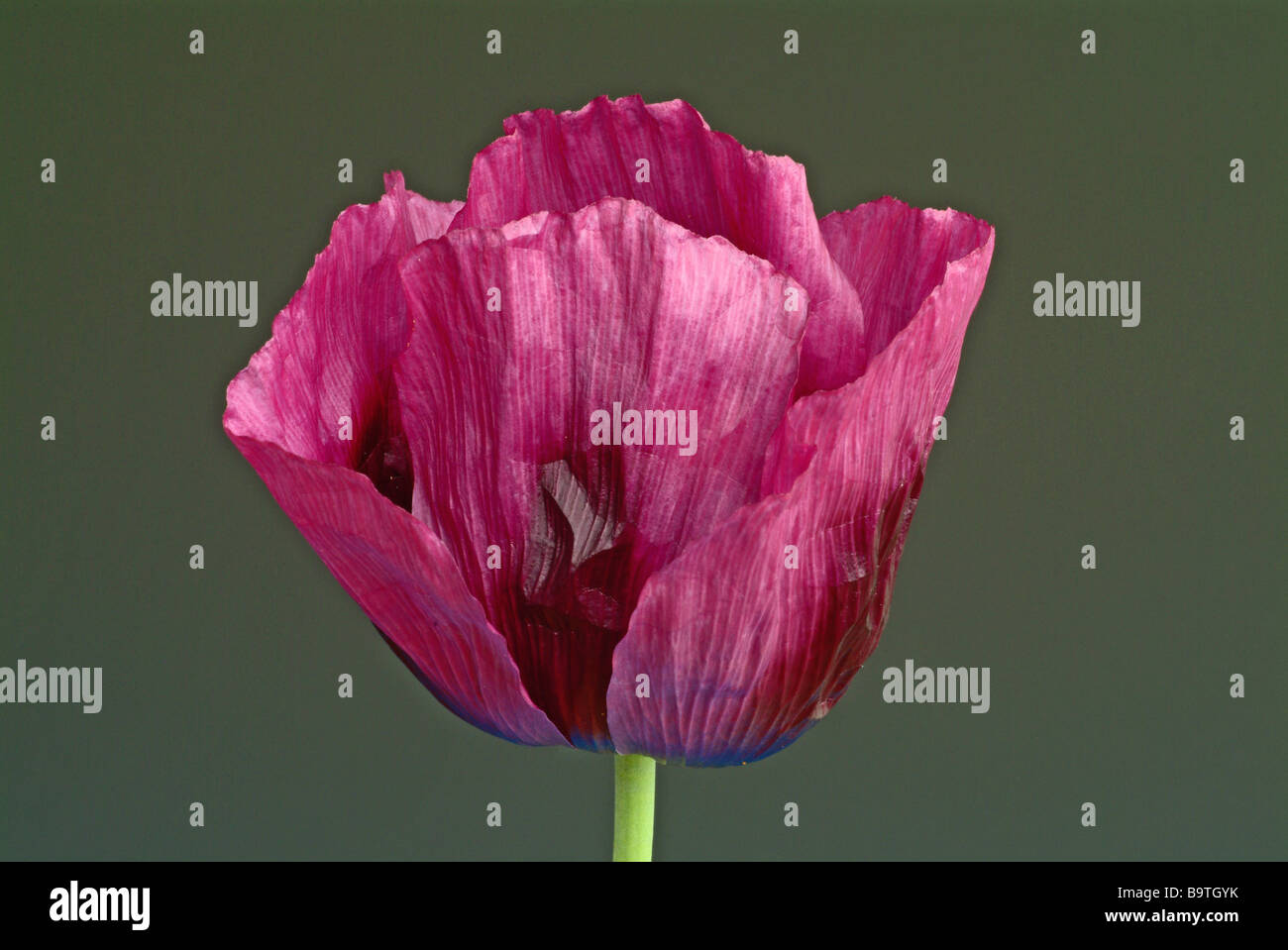 Medicinal plant Schlafmohn blauer Gartenmohn Opiummohn Opium poppy Poppyseed poppy Papaver somniferum var nigrum - Stock Image