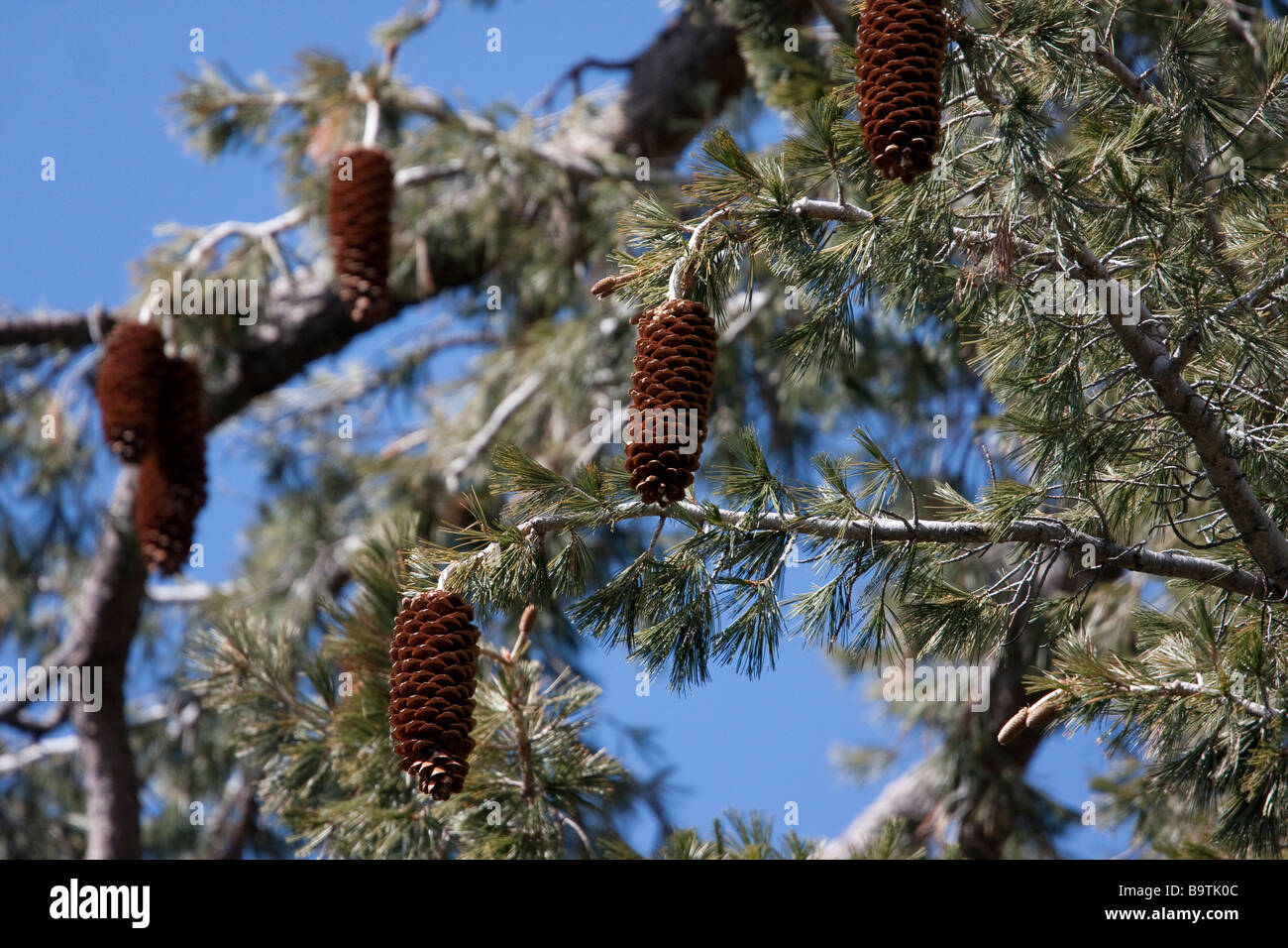 Sugar pine cone in Yosemite National Park, California, USA - Stock Image
