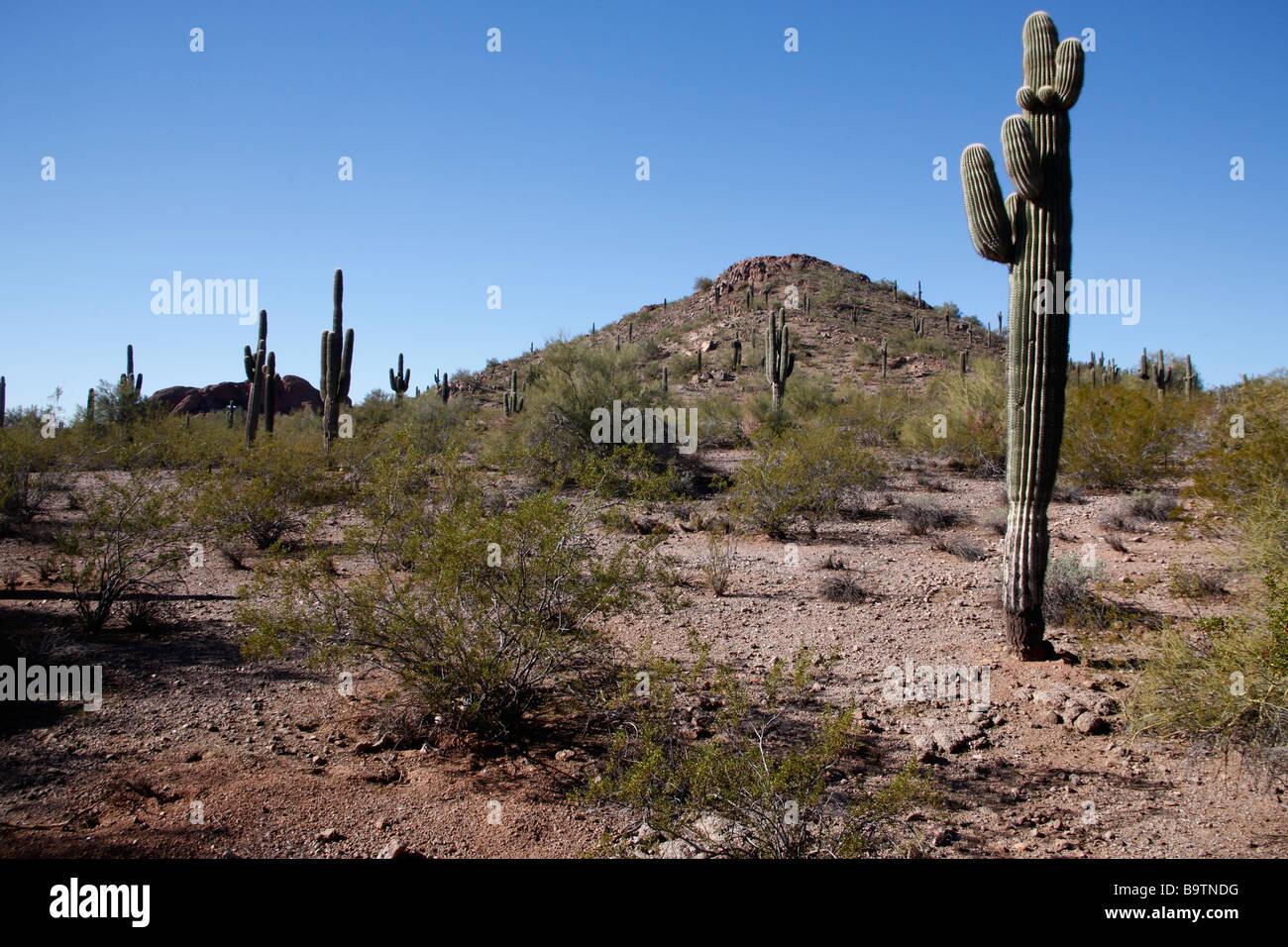 Cactus plants in desert Arizona USA Mostly saguaro cactus - Stock Image