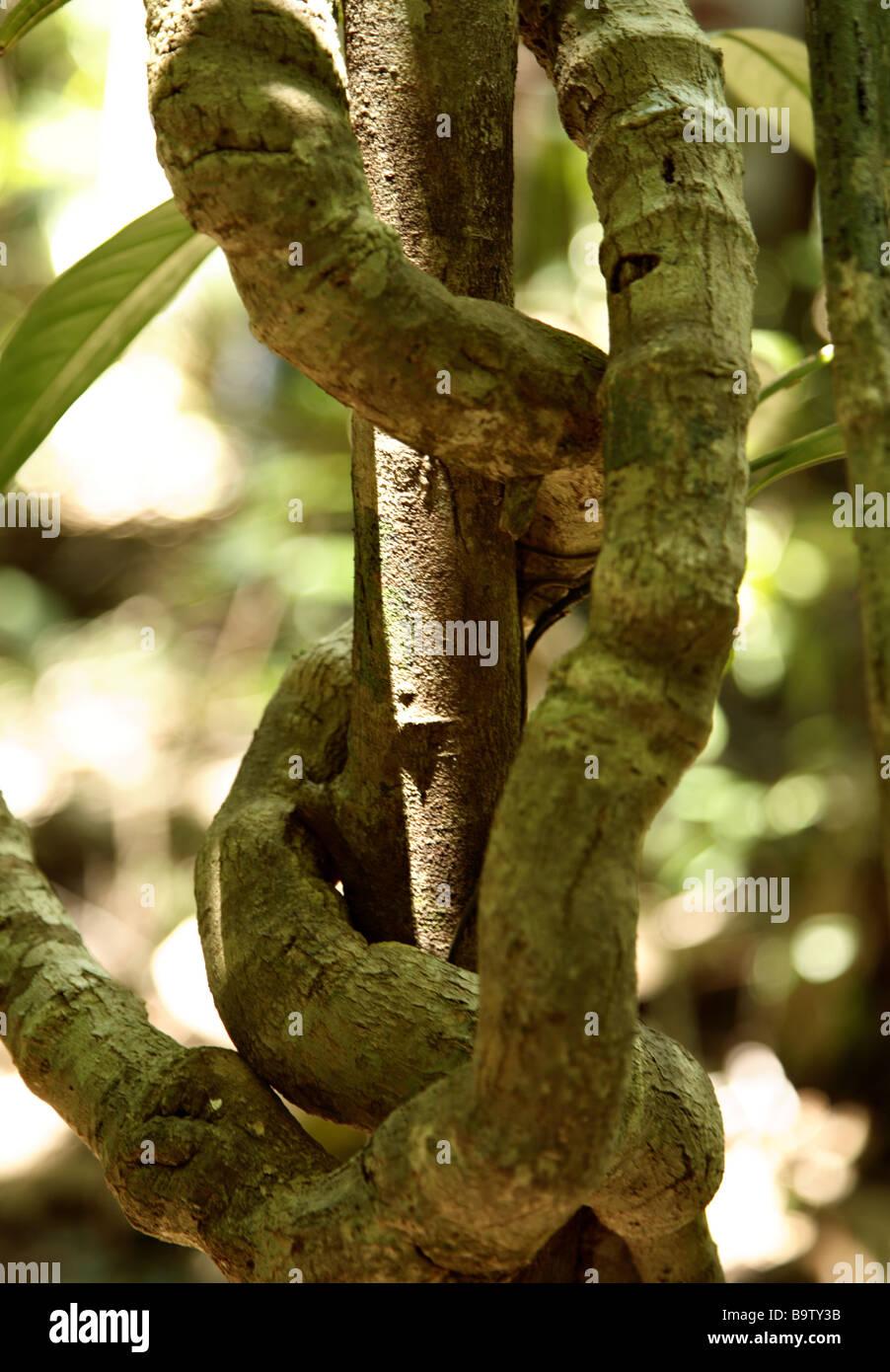 Liana Atlantic Rainforest Ecoparque de Una Bahia Brazil South America - Stock Image