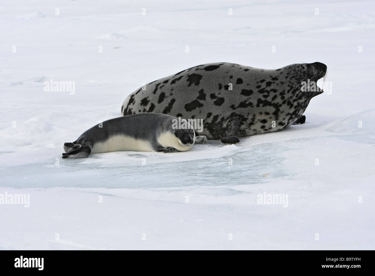 Hooded Seal (Cystophora cristata), female with pup (less than 4 days old) on ice - Stock Image