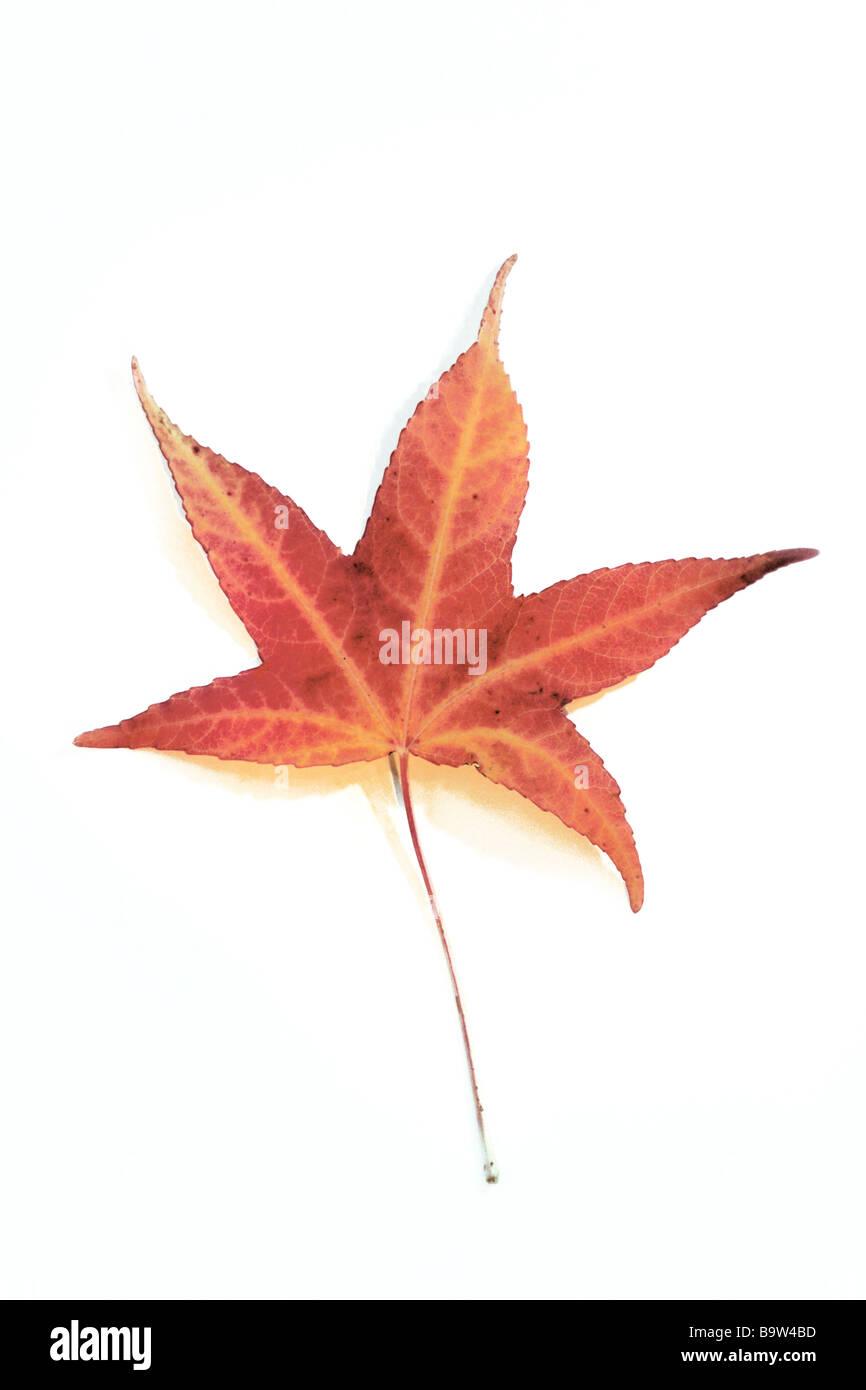 Oriental Sweetgum, Turkish Sweetgum (Liquidambar orientalis) leaf in autumn colors, studio picture - Stock Image