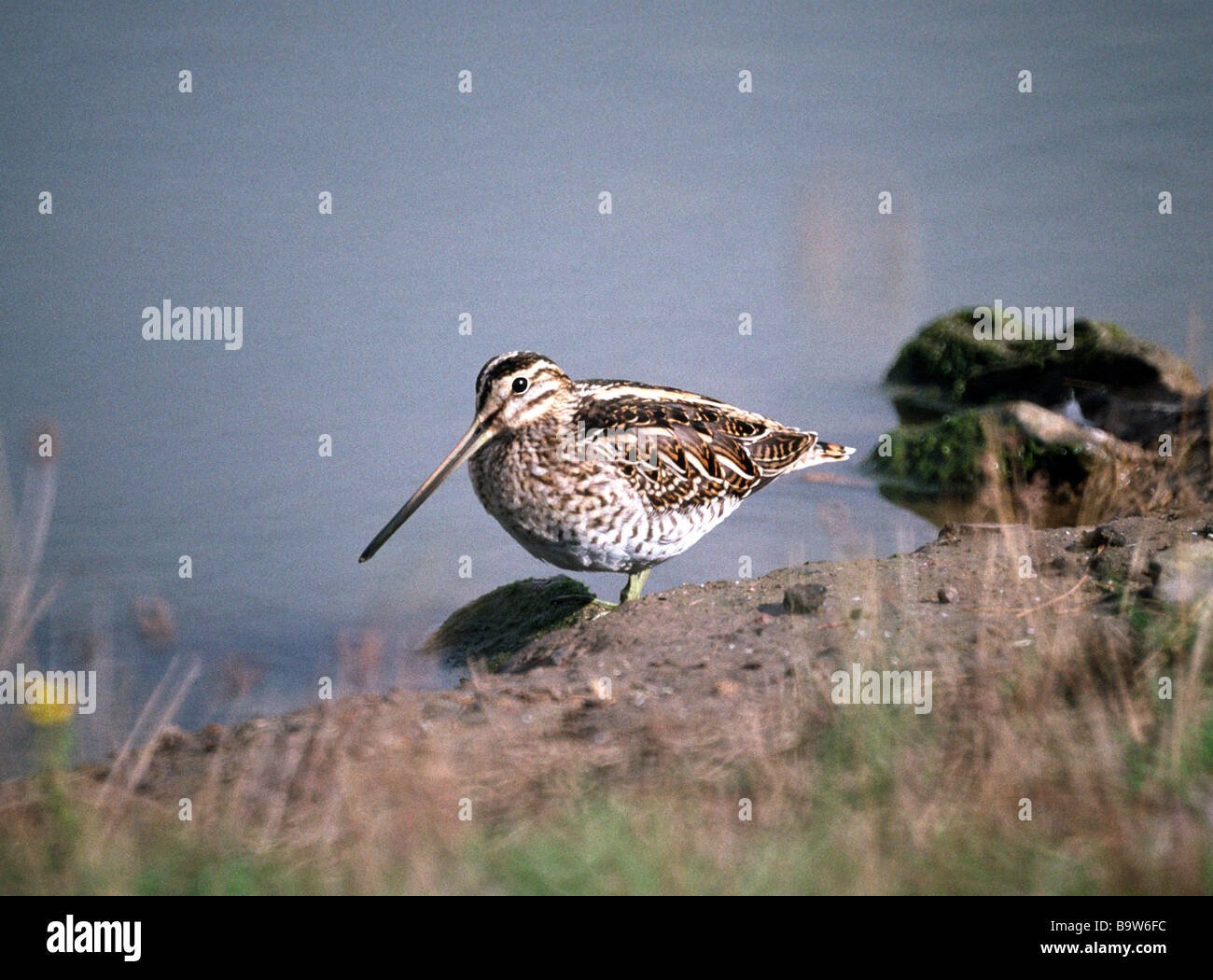 Snipe 'Gallinago gallinago' standing in shallow water by the shore - Stock Image