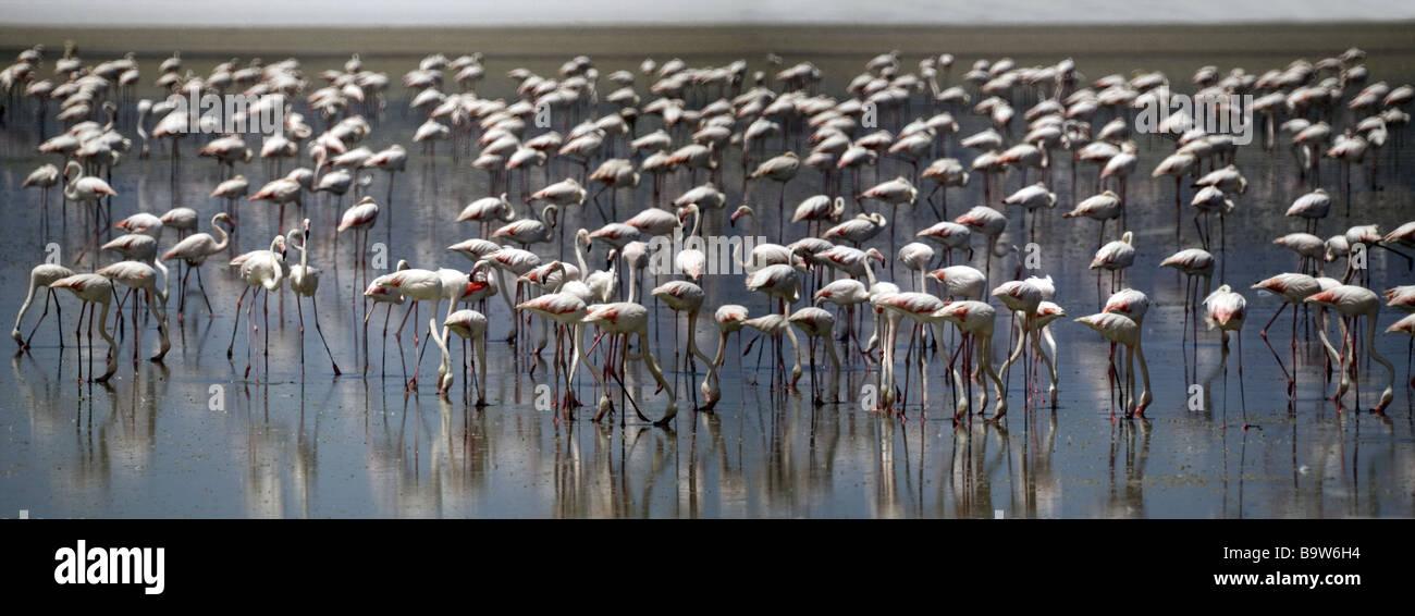 Greater Flamingos on the Lake of Fuente  de Piedro near Malaga. Andalucia,Southern Spain - Stock Image