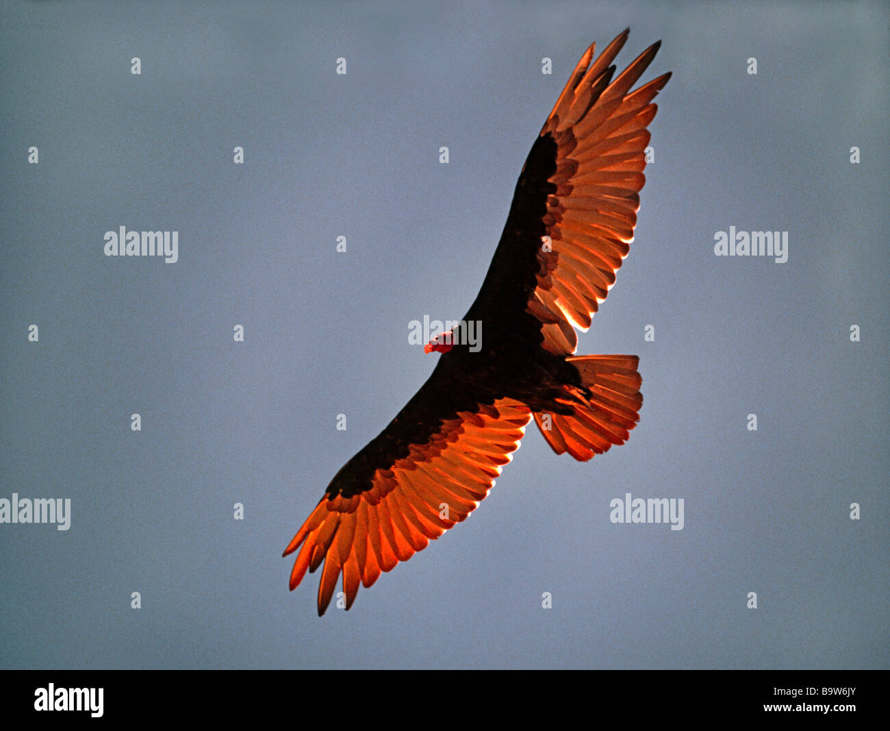 Turkey Vulture in flight virtually overhead.Sun shining through the wings.Southern Argentina - Stock Image