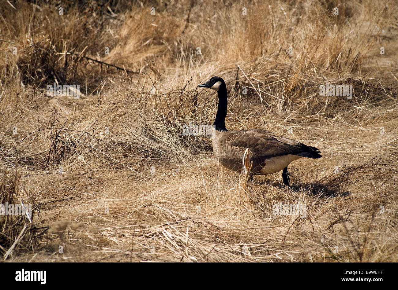 Canadian goose - Stock Image