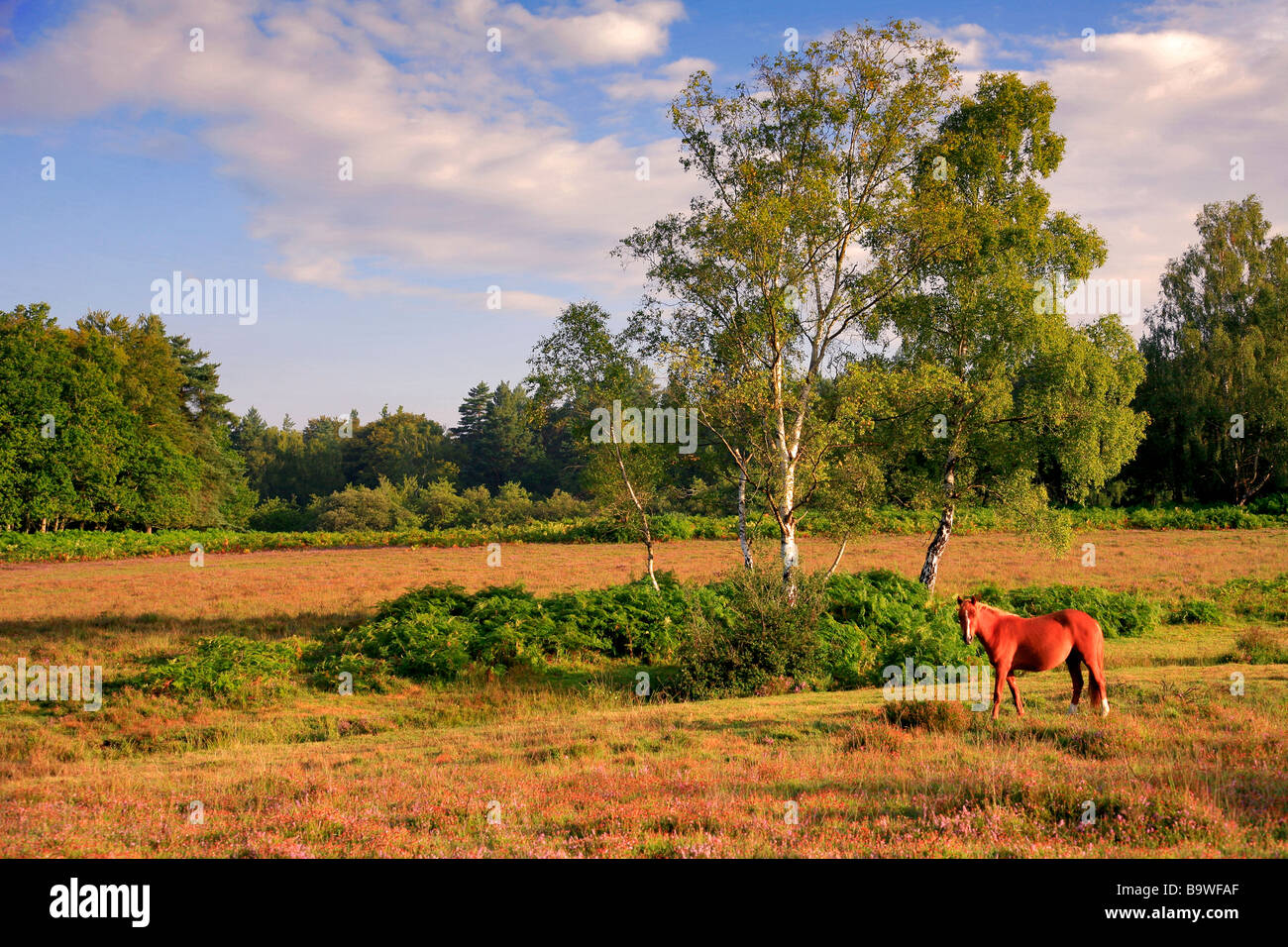 New Forest Pony on Emery Down New Forest National park Hampshire England Britain UK - Stock Image
