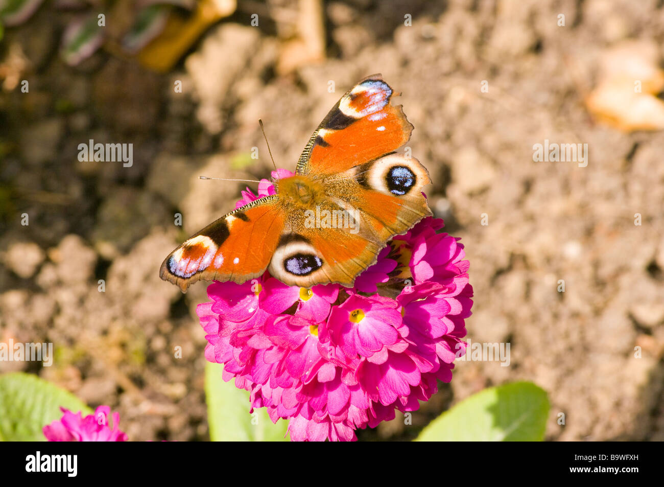 Peacock Butterfly On A Primula British uk English Butterflies - Stock Image