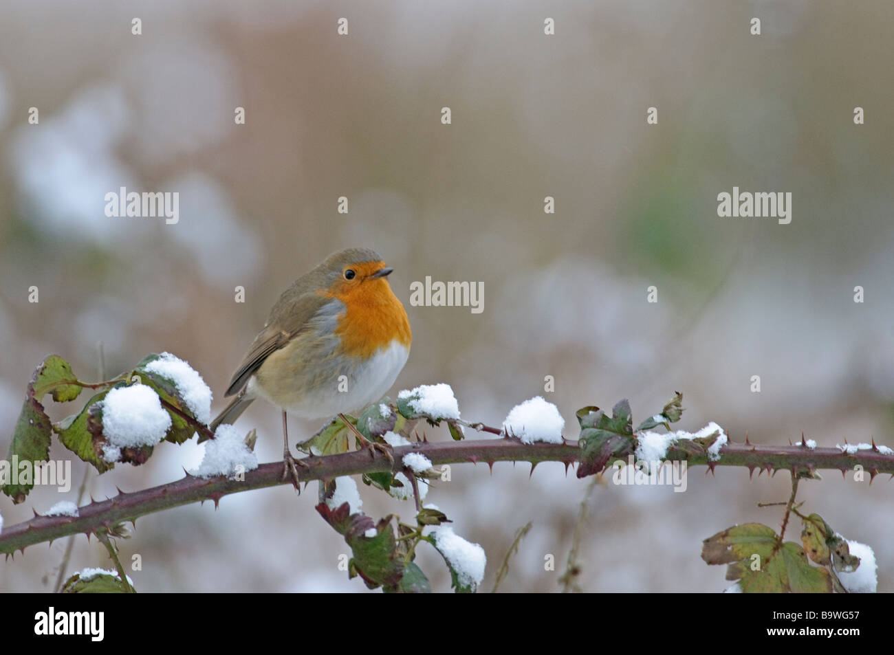 Robin Erithacus rubecula in snow Bedfordshire February - Stock Image