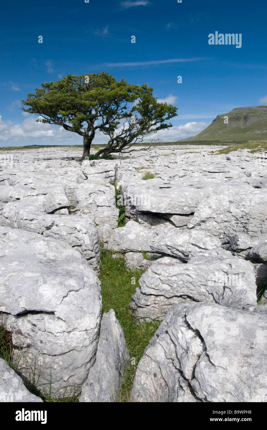 A solitary hawthorn tree survies in the limestone pavement beneath the flanks of Ingleborough, Yorkshire, England, - Stock Image