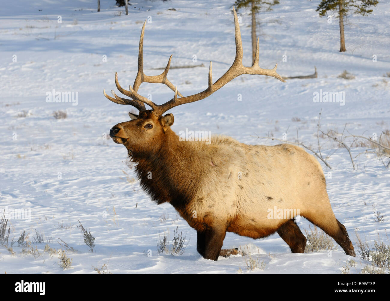 Mature bull elk with antlers walking in deep snow at Blacktail Deer Plateau Yellowstone National Park Wyoming USA - Stock Image