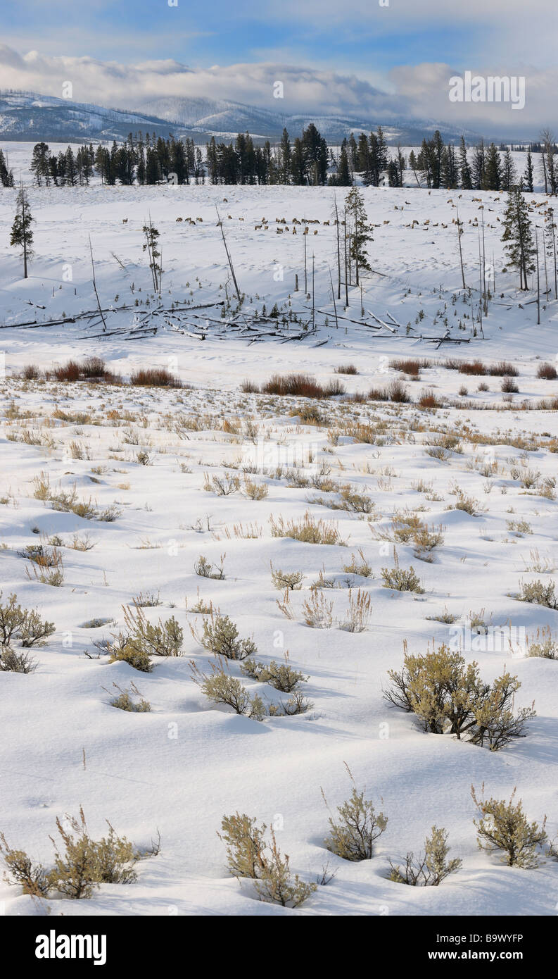 Sagebrush and elk herd on Blacktail Deer Plateau in winter with Washburn Range in Yellowstone National Park Wyoming - Stock Image