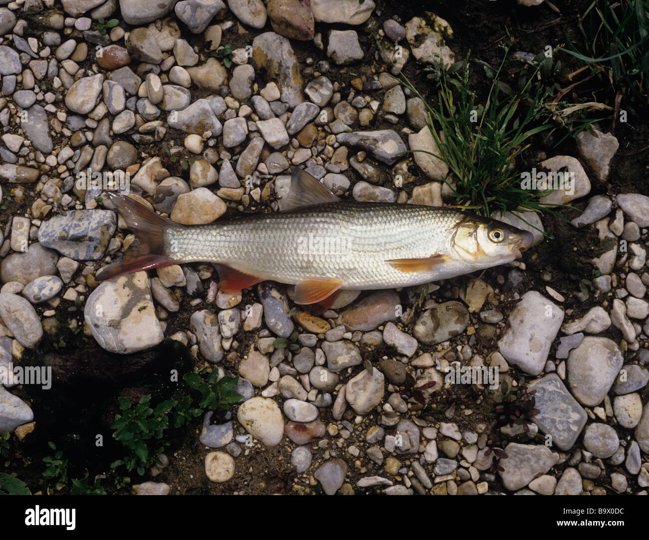 Nase Chondrostoma nasus, from river Ardeche - note the big nose. Photographed 16 May Stock Photo