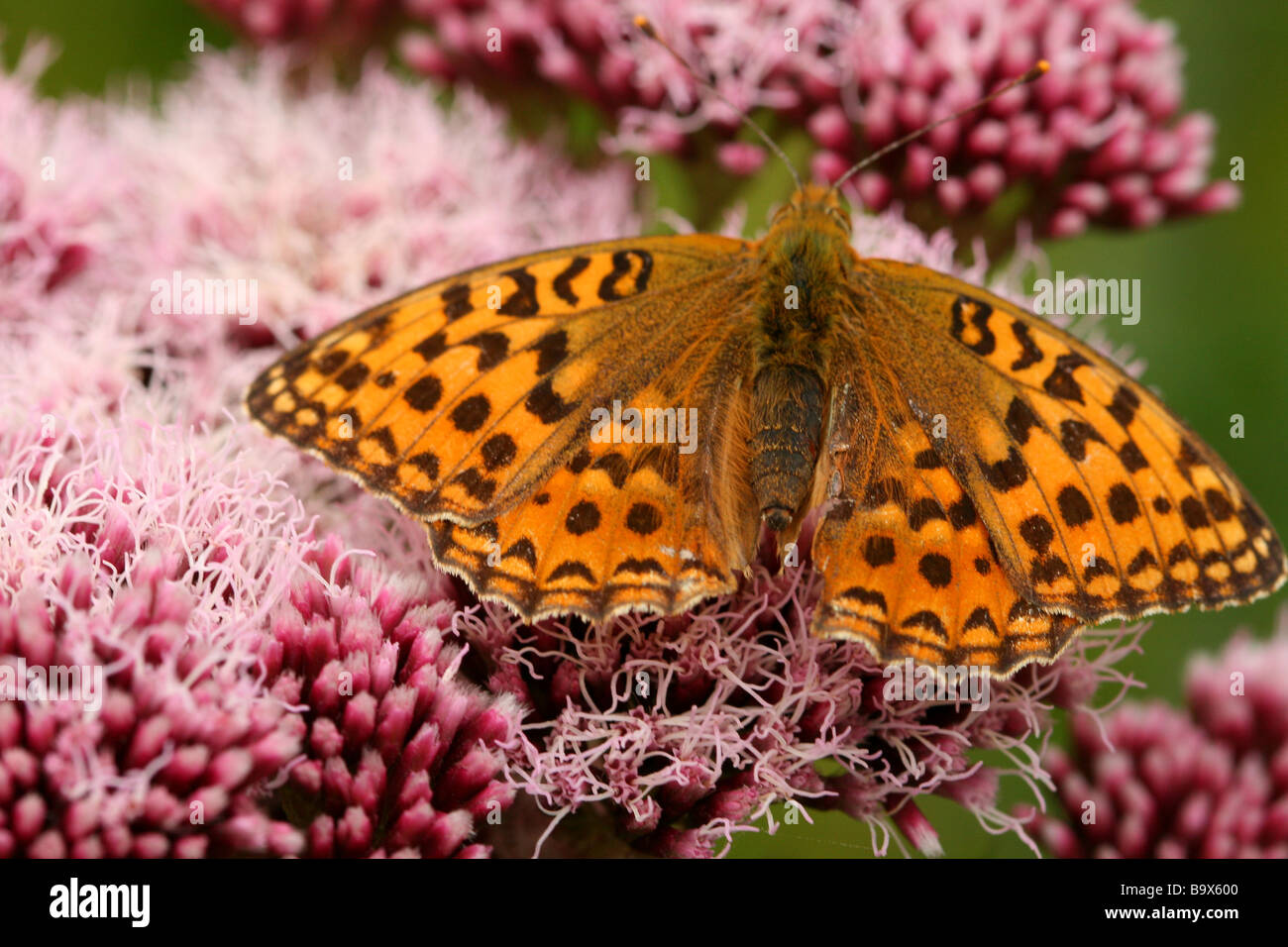 High Brown Fritillary feeding on Hemp agrimony - Stock Image