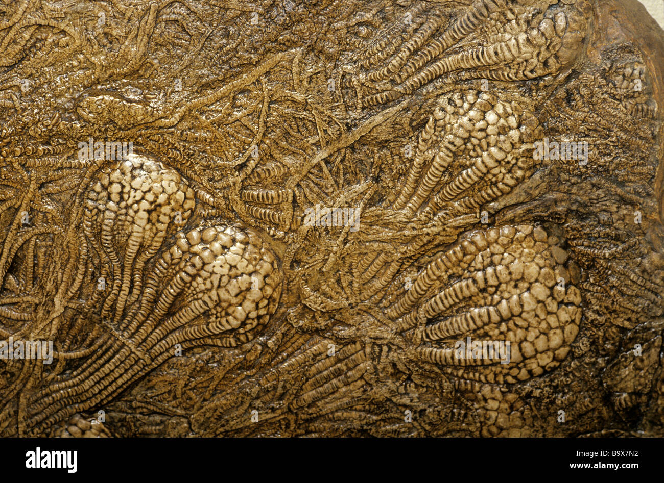 Fossil Crinoids from the Late Cretaceous Period Niobrara Formation Kansas - Stock Image