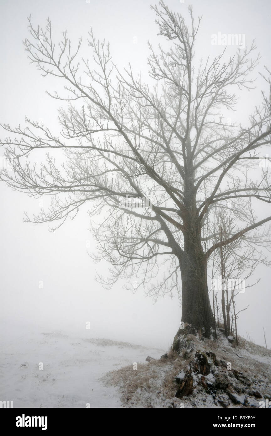 Begovo Razdolje, Croatia, snowy winter scene, spooky leafless tree in a fog - Stock Image