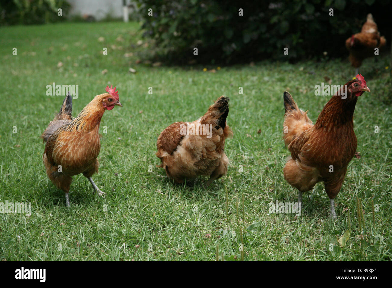 dancing chickens in the garden stock photo 23327868 alamy