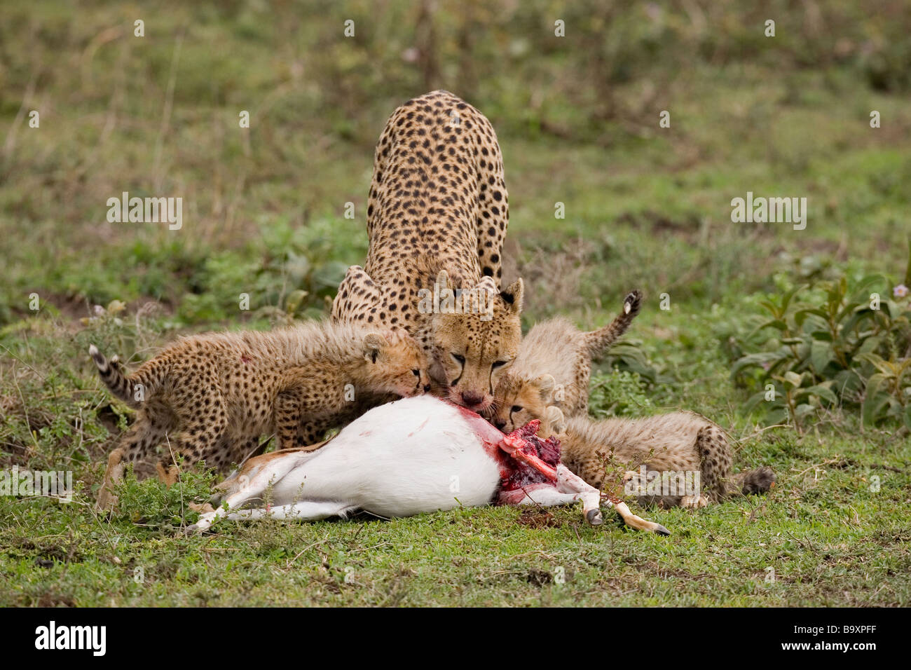 Mother cheetah and cubs Acinonyx jubatus feeding on Thomson Gazelle kill Ndutu Reserve Tanzania - Stock Image