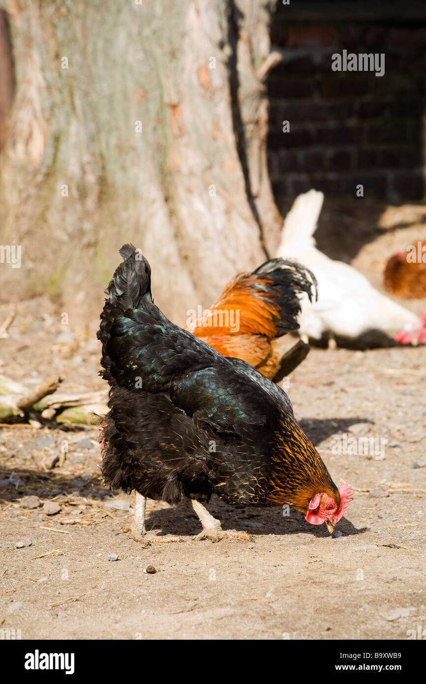 free range chicken at poultry farm - Stock Image