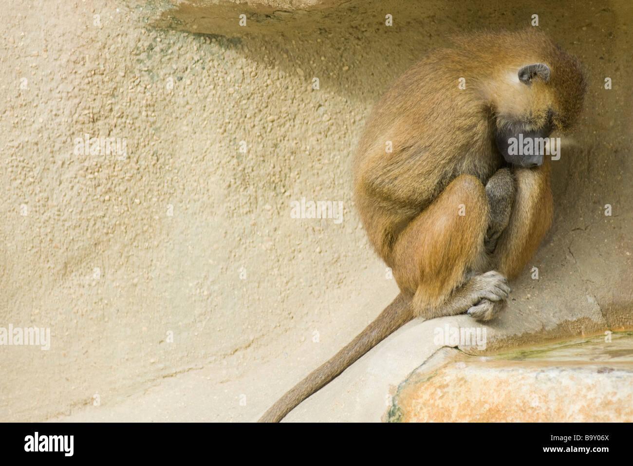 Guinea Baboon (Papio papio) - Stock Image