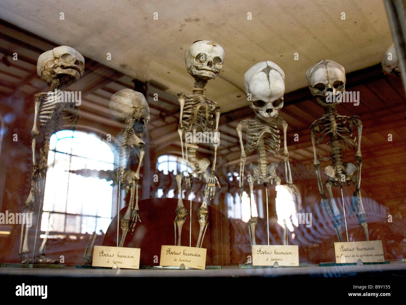 Skeletons of unborn babies on display at the Museum of Natural History in Paris, France - Stock Image
