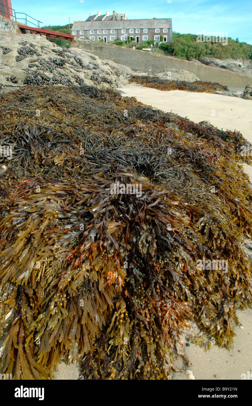 Bladder wrack Fucus vesiculosus and toothed wrack Fucus serratus forming a compressed zone on the shore Cornwall - Stock Image