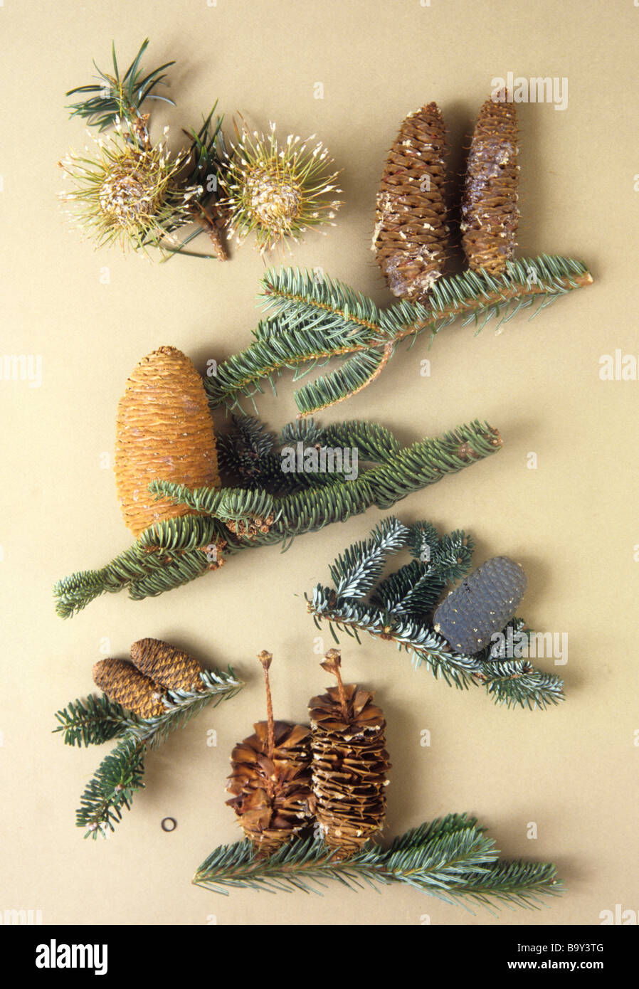 Abies specimens with 1 centimetre scale ring - Stock Image