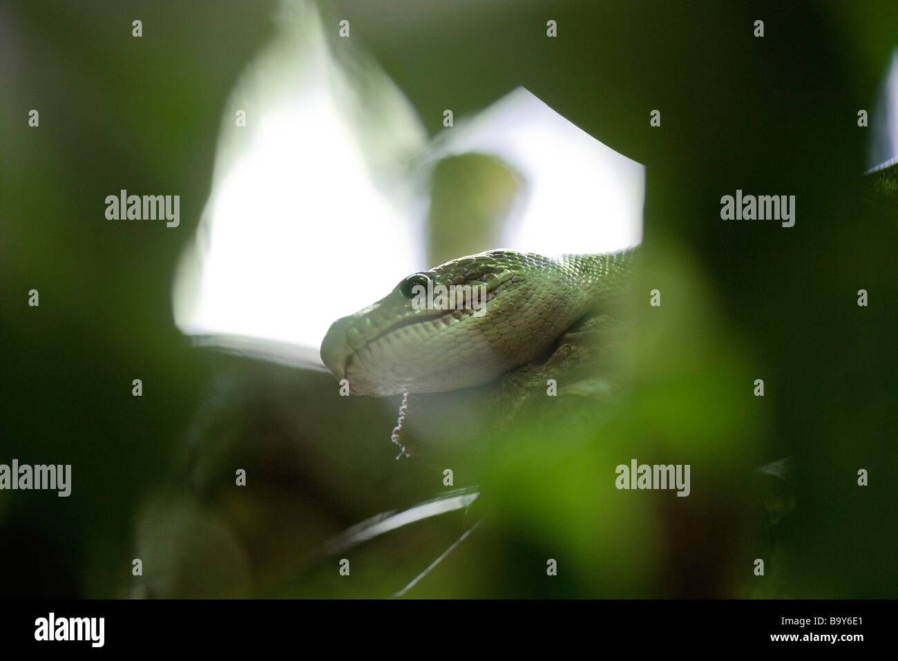Head of snake hidden in foliage - Stock Image