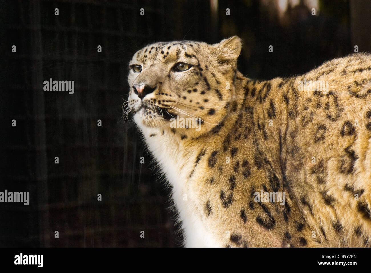 Leopard (Panthera pardus) - Stock Image