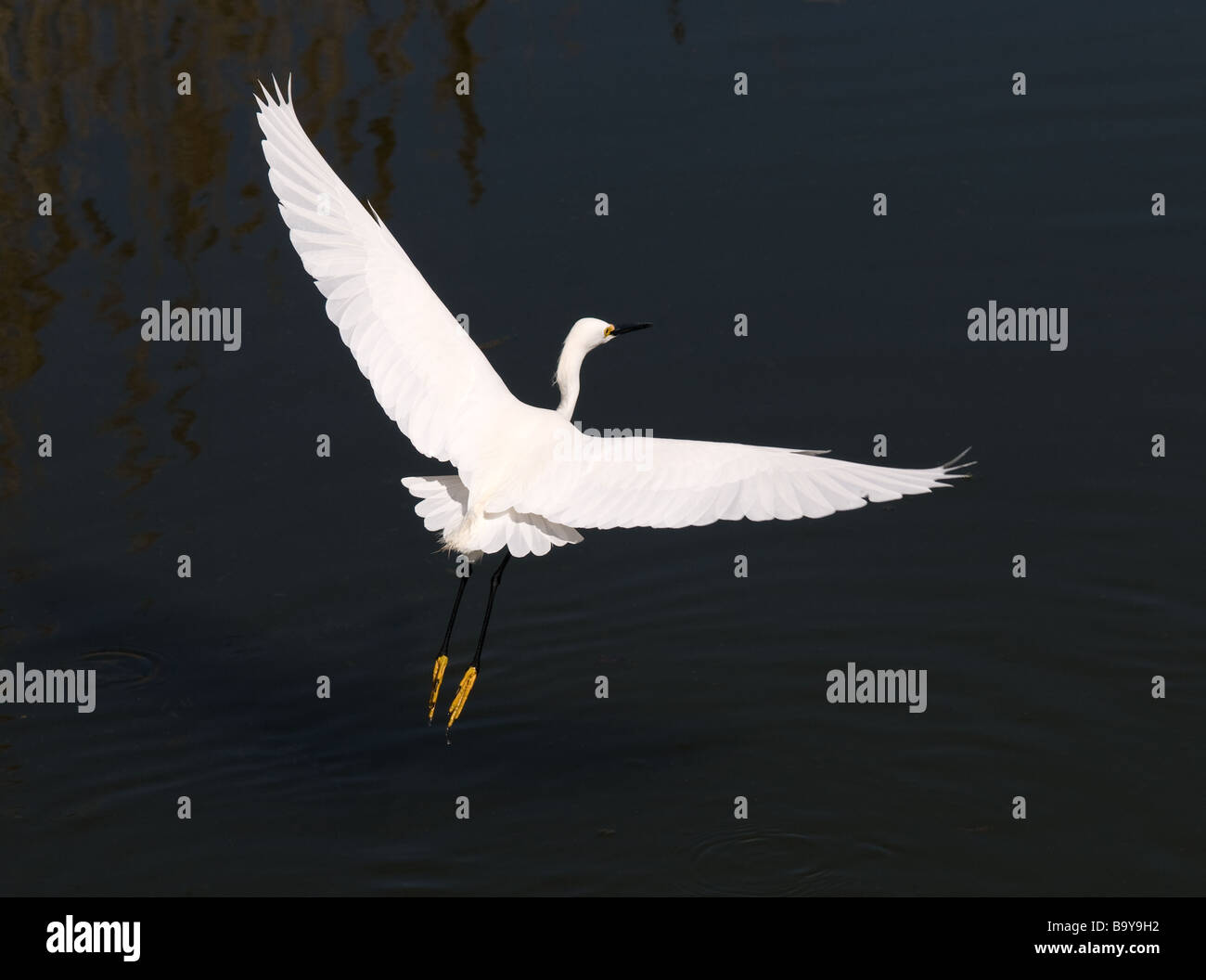 Egret in flight, North Carolina - Stock Image