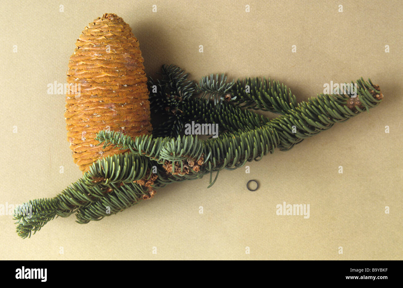Abies magnifica (Red Fir) cone with 1 centimetre scale ring - Stock Image