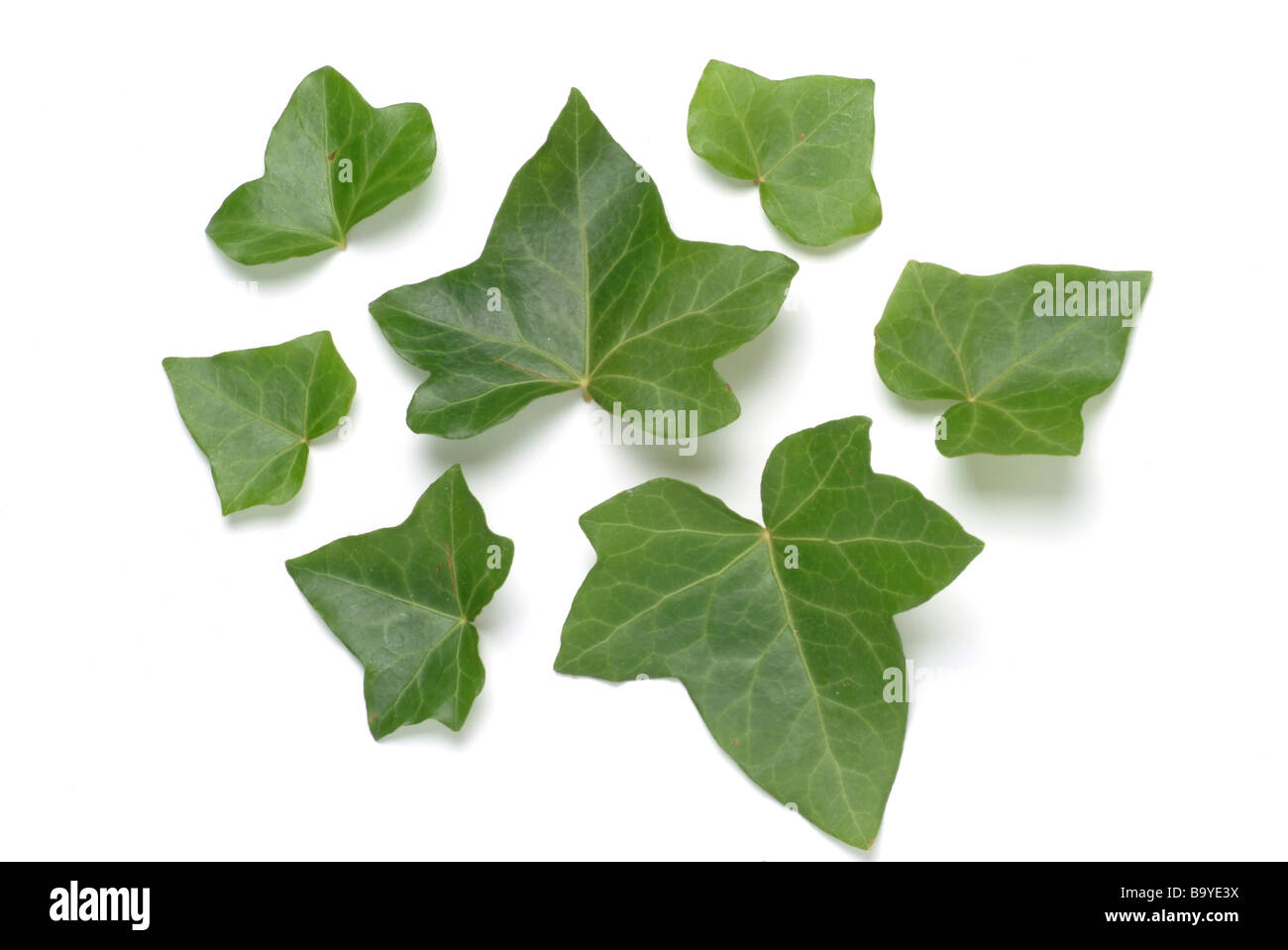 Leaves of medicinal plant Efeu Common Ivy Hedera helix Edera - Stock Image