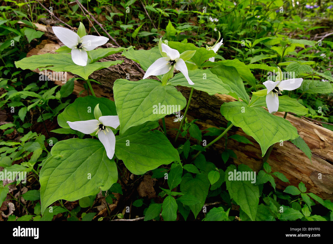 Sweet White Trillium Growing on the Roaring Fork Motor Nature Trail in Great Smoky Mountains National Park Tennessee - Stock Image
