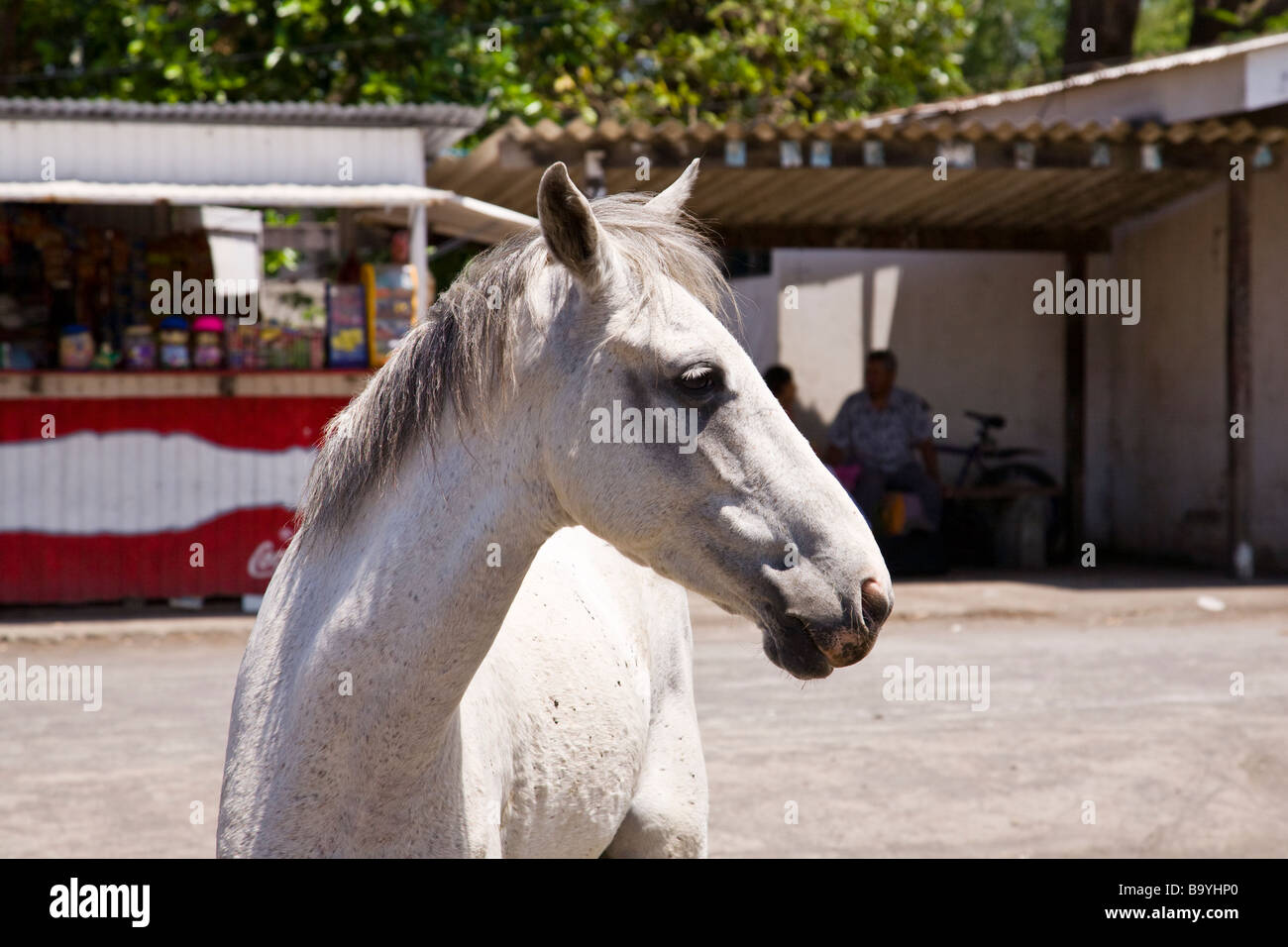 A white horse in the street in Moyogalpa on Ometepe Island, Nicaragua. Stock Photo