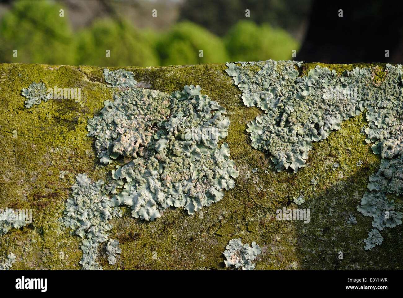 foliose lichen growing on a wooden fence rail - Stock Image