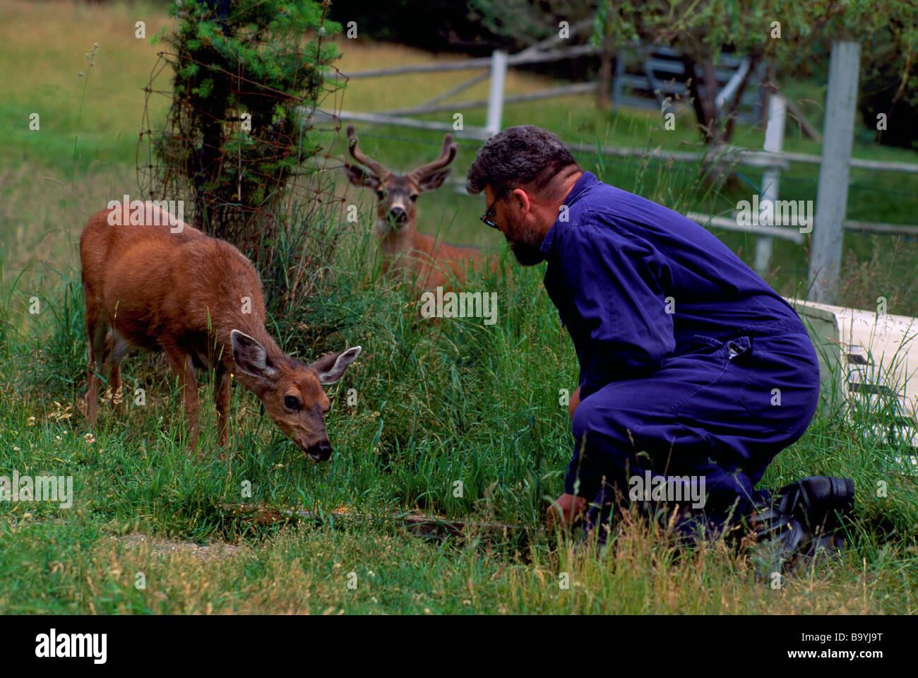Man talking to Tame Wild Blacktail Deer (Black-Tailed Deer) (Odocoileus hemionus columbianus) in a Field Stock Photo
