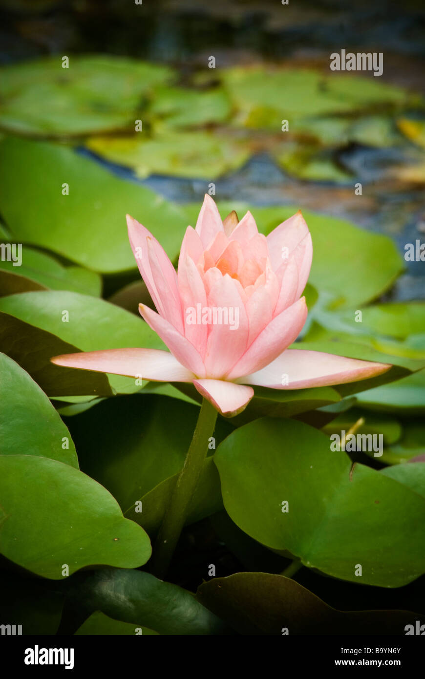 Pink Flower In Lily Pads And Pond Stock Photo 23351635 Alamy